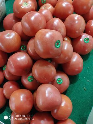 天津西青区硬粉番茄 通货 弧三以上 硬粉