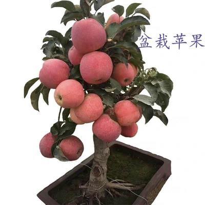 山东省临沂市平邑县果树盆景  苹果盆栽