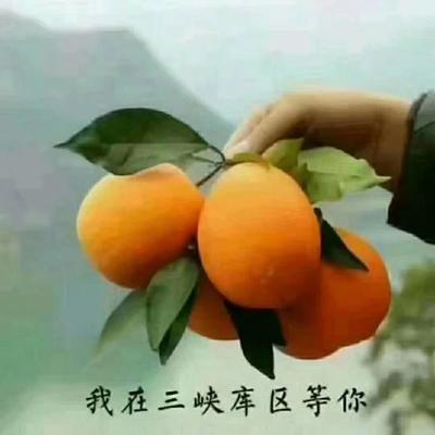 这是一张关于长虹脐橙 70-75mm 4-8两 的产品图片