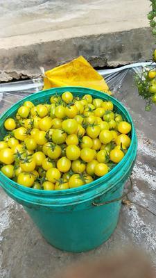 山东省潍坊市寿光市千禧西红柿 精品 弧一以下 硬黄