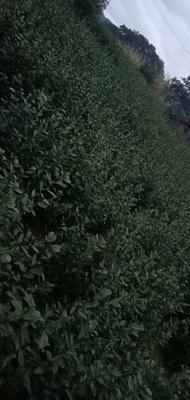 广西壮族自治区柳州市三江侗族自治县三江绿茶 特级 散装