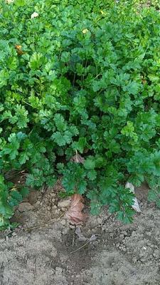 山东省德州市夏津县大叶香菜 30~35cm