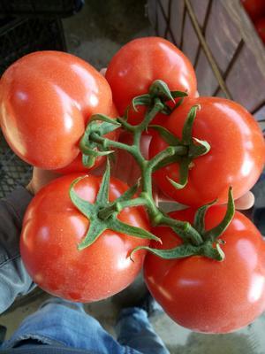 四川省攀枝花市米易县大红硬果 精品 弧三以上 大红