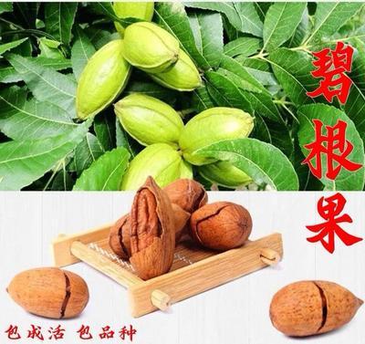 这是一张关于碧根果苗 的产品图片