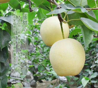 河北省沧州市泊头市皇冠梨 70mm以上 250-300g