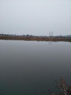 湖北省荆州市荆州区池塘鳊鱼 人工养殖 0.5公斤以下