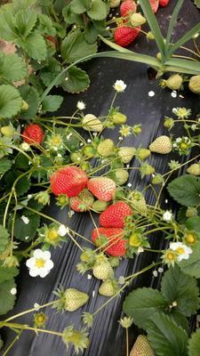 辽宁省大连市庄河市辛香草莓 20克以上