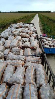 这是一张关于延薯4号土豆 3两以上 的产品图片