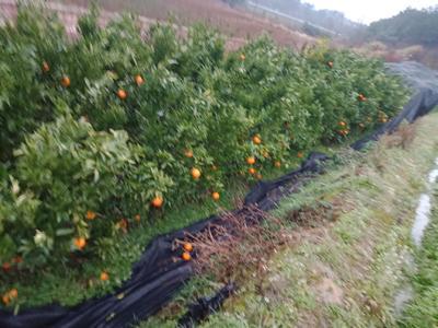 这是一张关于椪柑苗 移栽苗 1.5~2米 的产品图片