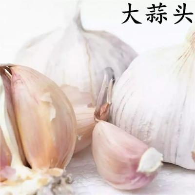 广东省惠州市惠阳区白皮大蒜 4.5cm以下 多瓣蒜