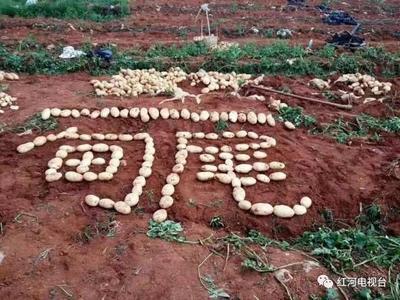 云南省红河哈尼族彝族自治州建水县红土豆 3两以上