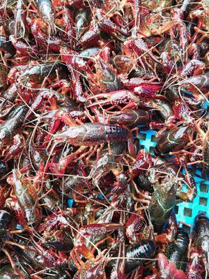 这是一张关于江苏金湖龙虾 7-9钱 塘虾 的产品图片