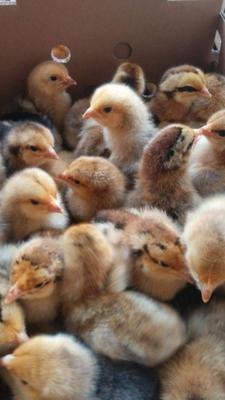 这是一张关于K9鸡苗 的产品图片