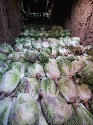 吉林省长春市农安县环球白菜 6~10斤 二毛菜