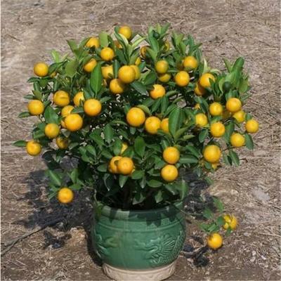 这是一张关于四季金桔苗 的产品图片