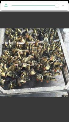 这是一张关于麻鸭苗 的产品图片