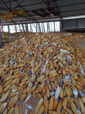 吉林省延边朝鲜族自治州和龙市玉米湿粮 杂质很少 水份20%-30%