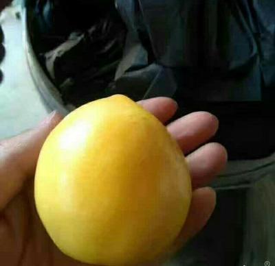 山东省日照市莒县黄油桃 品质优   货源充足