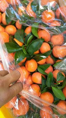 这是一张关于沙糖桔 3 - 3.5cm 1两以下 的产品图片