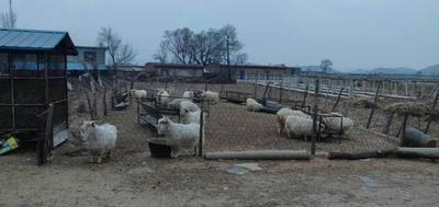 辽宁省营口市盖州市山羊 110-140斤