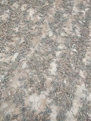 这是一张关于地黄种苗 的产品图片