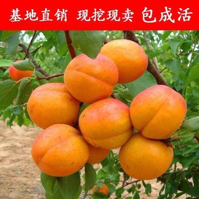 这是一张关于巨蜜王杏树苗 的产品图片