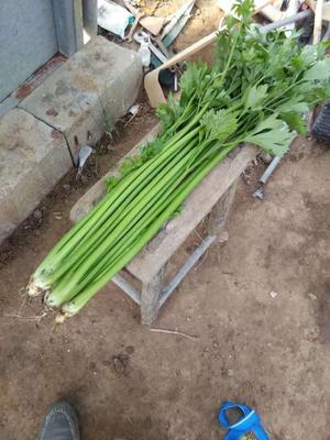 山东省青岛市即墨市金口芹菜 55~60cm 0.5~1.0斤 大棚种植