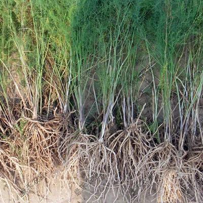 这是一张关于芦笋苗 的产品图片