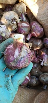 云南省大理白族自治州宾川县红皮大蒜 4.5-5.0cm 独头