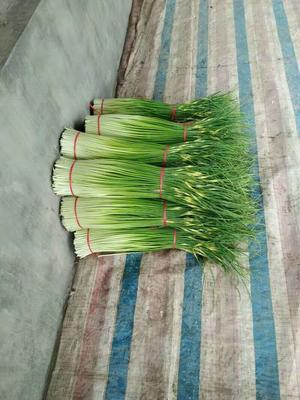 江苏省徐州市沛县白帽蒜薹 60~70cm