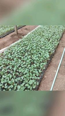山东省潍坊市青州市哈密瓜种子 杂交种 ≥95%