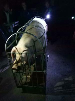 广西壮族自治区玉林市博白县三元猪 200-300斤