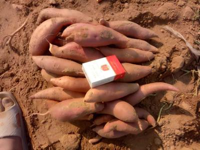这是一张关于烟薯25 3两~6两 红皮 的产品图片