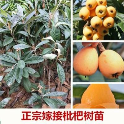 这是一张关于大五星  枇杷苗嫁接枇杷树苗盆的产品图片