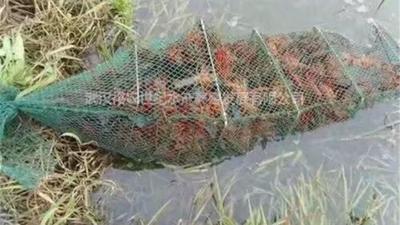 这是一张关于克氏原螯虾 2钱以下 人工殖养 的产品图片