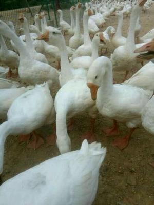 上海普陀区大白沙鹅苗