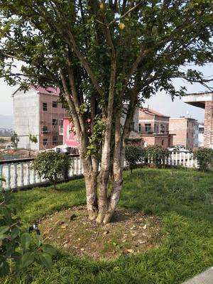 江西省吉安市新干县红叶石楠
