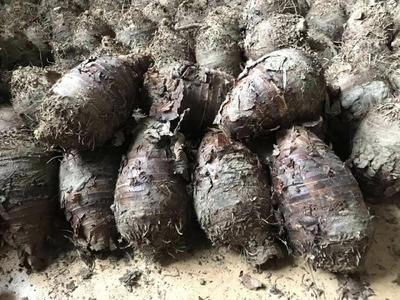 广西壮族自治区桂林市荔浦县荔浦芋头 5cm以上