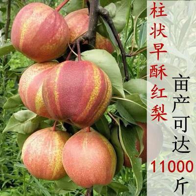 这是一张关于早酥红梨苗 1~1.5米 的产品图片