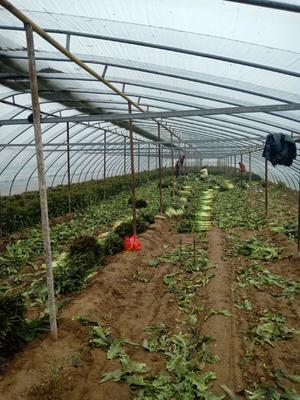 安徽省宿州市埇桥区红叶莴笋 2斤以上 50-60cm
