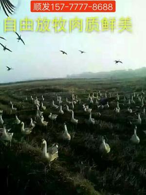 这是一张关于雁鹅苗 的产品图片