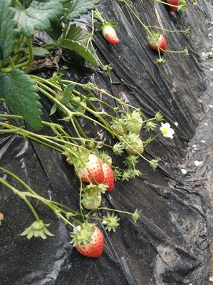 河南省郑州市荥阳市奶油草莓 20克以上