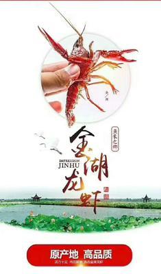 江苏省淮安市金湖县江苏金湖龙虾 4-6钱 塘虾