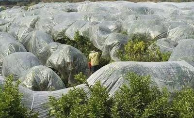 广西壮族自治区梧州市蒙山县沙糖桔 4 - 4.5cm 1两以下