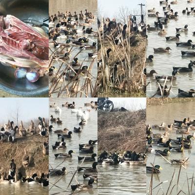安徽省合肥市长丰县蛋鸭 4-5斤 母 全散养