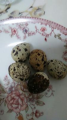 山东省临沂市莒南县黄羽鹌鹑蛋 食用 散装