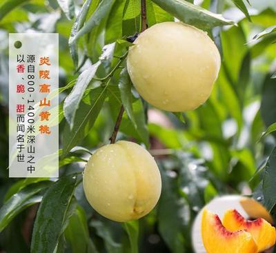 湖南省株洲市炎陵县炎陵黄桃 60mm以上 3 - 4两