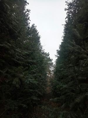 湖北省荆门市京山县松木  松木林,杉树200亩