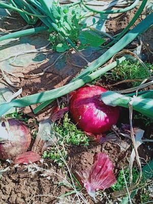 云南省红河哈尼族彝族自治州弥勒市红皮洋葱 9cm以上