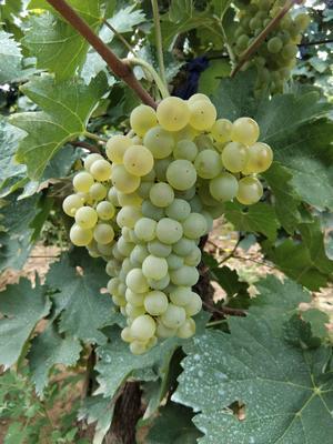 河北省张家口市怀来县酿酒葡萄 0.6-0.8斤 5%以下 1次果